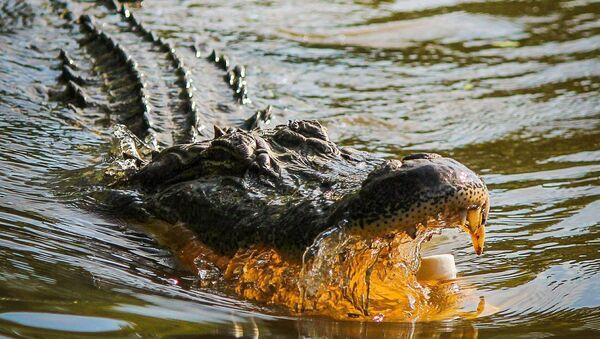 Un alligator - Sputnik France