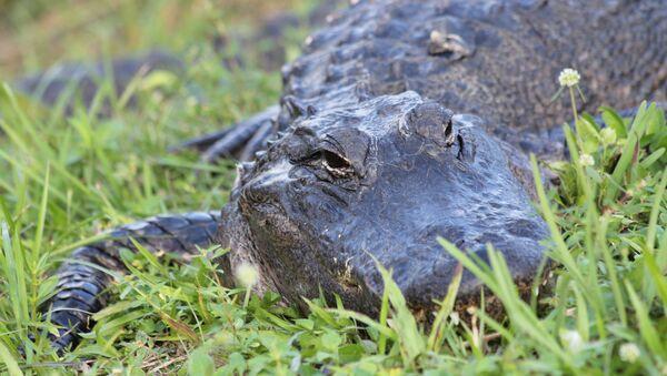 Alligator - Sputnik France