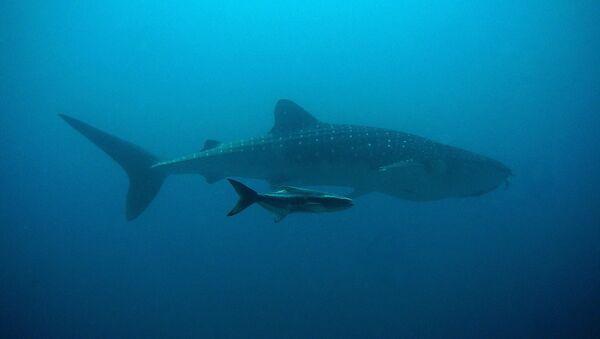 Un requin baleine - Sputnik France