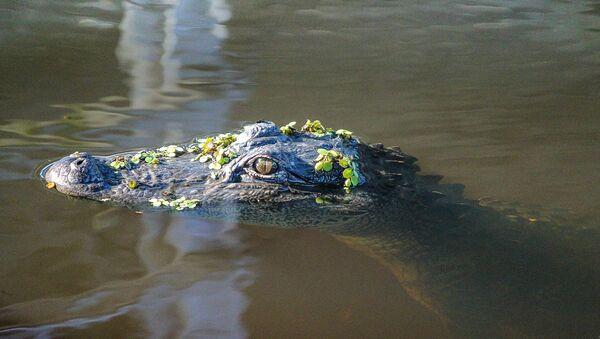 Un alligator (image d'illustration) - Sputnik France