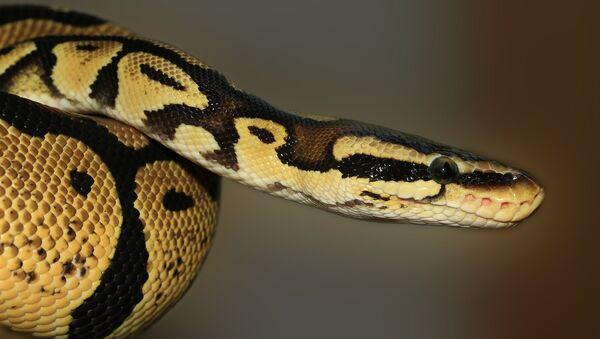 Un python royal - Sputnik France