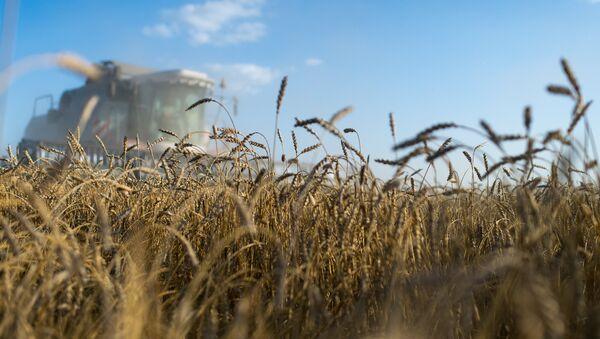Le blé de la Sibérie - Sputnik France