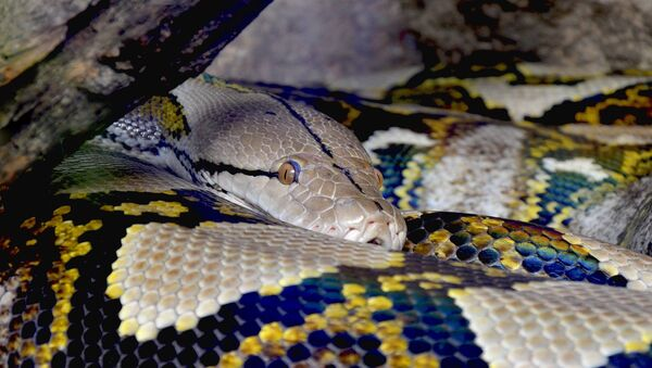 Un python réticulé - Sputnik France