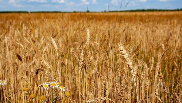 Un champ de blé - Sputnik France