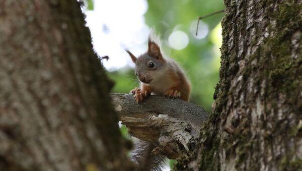 Un bébé écureuil - Sputnik France