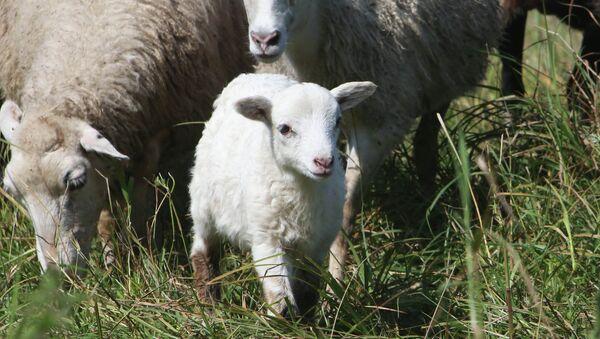 Des moutons - Sputnik France
