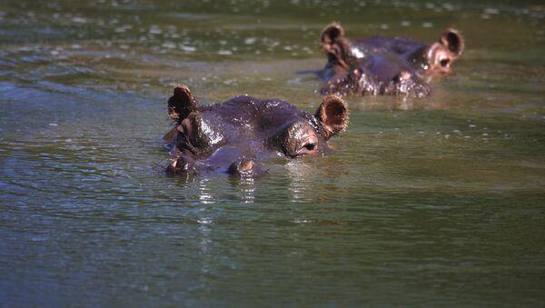 Des hippopotames  - Sputnik France