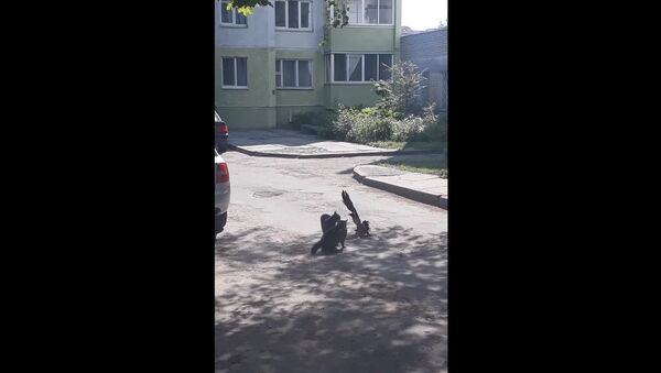 Courageous Crow Tries to Stop Feud Between Two Cats || Viralhog - Sputnik France