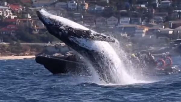 L'énorme saut d'une baleine tout près d'un bateau étonne les touristes - Sputnik France