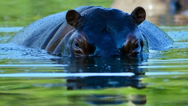 A hippo is seen at the Hacienda Napoles theme park, once the private zoo of drug kingpin Pablo Escobar at his Napoles ranch, in Doradal, Antioquia department, Colombia on June 22, 2016 - Sputnik France