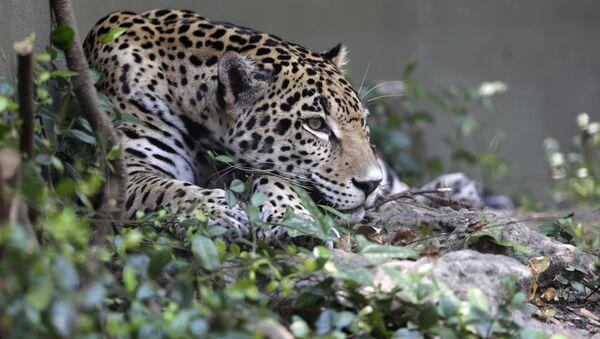 Jaguar - Sputnik France