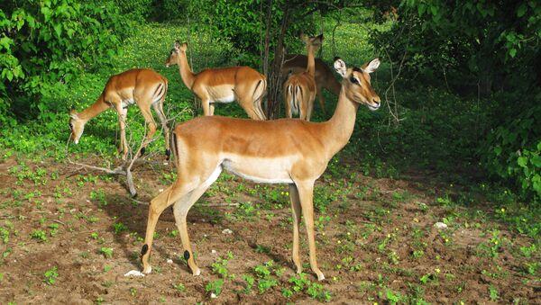 Une antilope impala - Sputnik France