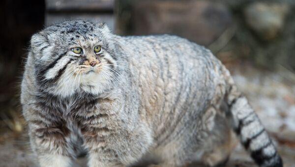 Un chat de Pallas - Sputnik France