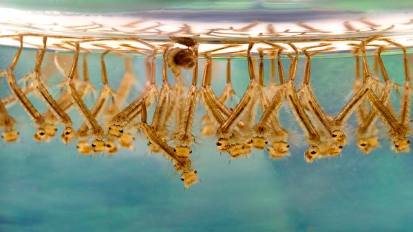 Les larves de moustiques de la fièvre du Nil occidental - Sputnik France