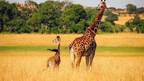 girafe - Sputnik France