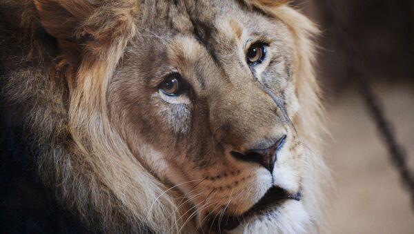 Un lion (image d'illustration) - Sputnik France