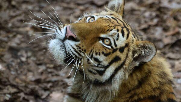 Un tigre de l'Amour - Sputnik France