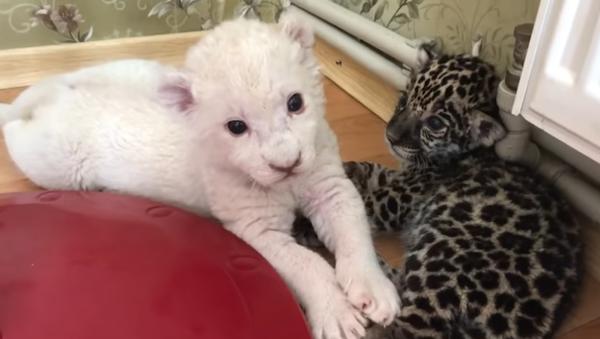 Ces adorables bébés lion et jaguar jouent ensemble - Sputnik France