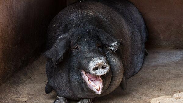 un porc noir - Sputnik France