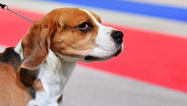 Un beagle - Sputnik France