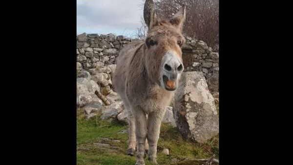 Lorsqu'un âne chante comme une chanteuse d'opéra - Sputnik France