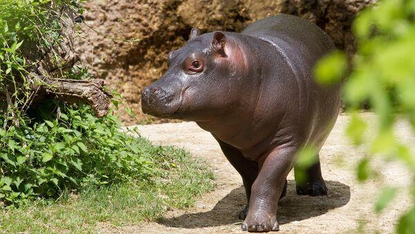 Un bébé hippopotame - Sputnik France
