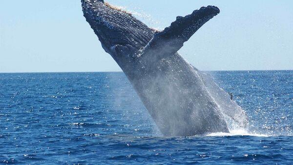 Baleine à bosse - Sputnik France