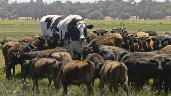 Une vache sacrée: un taureau de deux mètres ne deviendra pas un burger grâce à son taille gigantesque - Sputnik France
