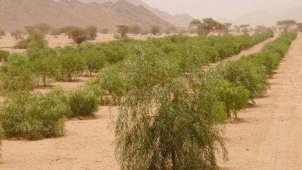 12 millions de plants pour lutter contre la désertification en Arabie saoudite - Sputnik France