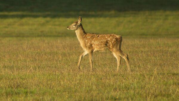 Un Bambi - Sputnik France