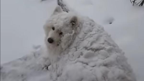 Est-ce la neige qui bouge ou un chien? - Sputnik France