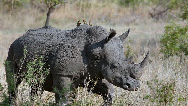 Un rhinocéros - Sputnik France