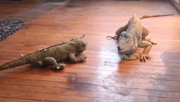 Сomment traiter un «rival»: la bagarre entre un iguane et un animal en peluche - Sputnik France
