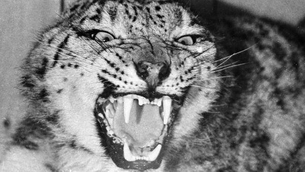 Un léopard des neiges  (archives) - Sputnik France