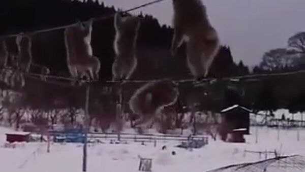Des singes des neiges font des prouesses - Sputnik France