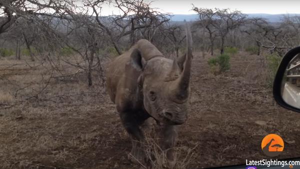 Un rhinocéros attaque une voiture dans un parc national en Afrique - Sputnik France