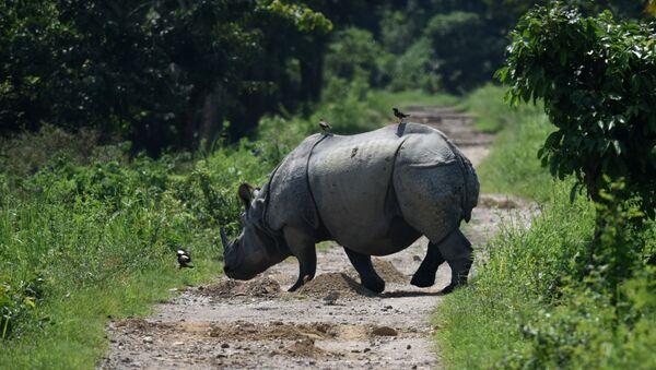 Indian one-horned rhino crosses a path in Kaziranga National Park, some 250kms east of Guwahati (File) - Sputnik France