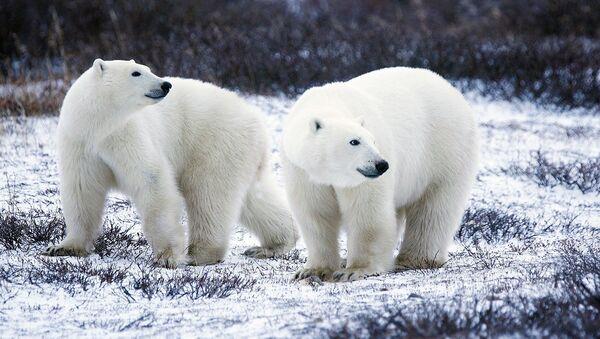 белый медведь - Sputnik France
