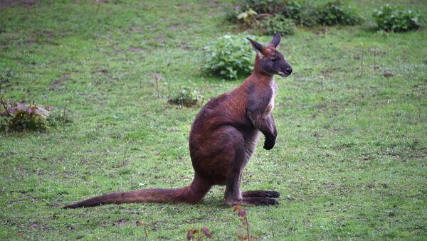 Un kangourou - Sputnik France