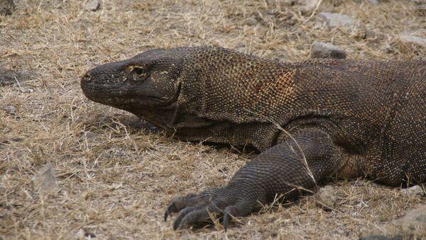 Un dragon de Komodo - Sputnik France