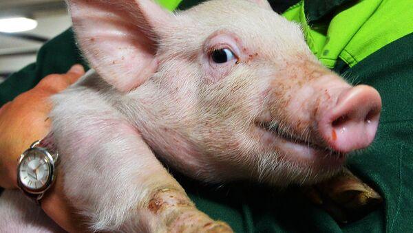 Un petit cochon, image d'illustration  - Sputnik France