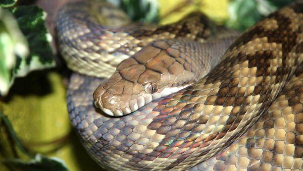 Un python améthyste - Sputnik France