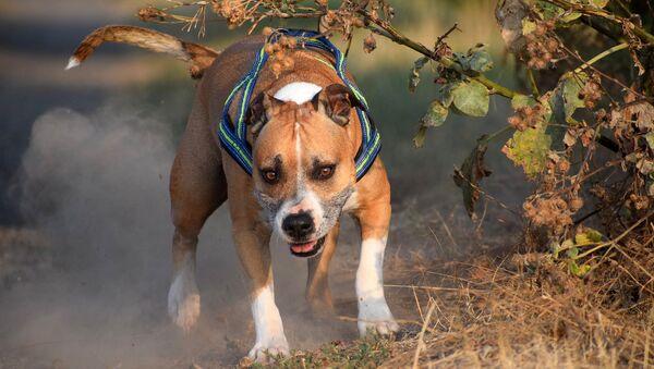 un American Staffordshire terrier - Sputnik France