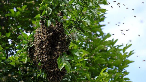 Une ruche d'abeilles sauvages - Sputnik France
