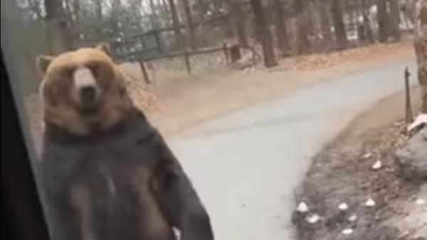 Un ours marche comme un humain à quelques centimètres de touristes ébahis - Sputnik France
