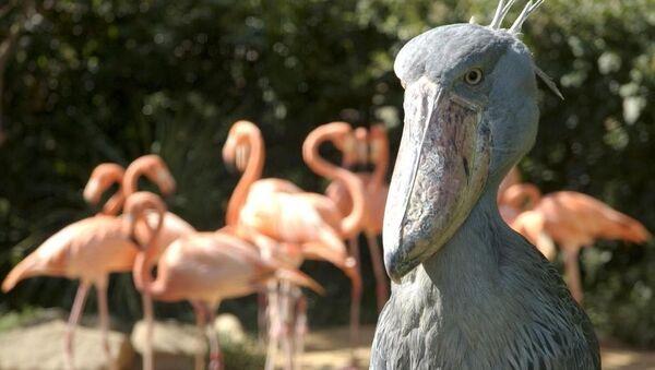 Les oiseaux les plus fantastiques du monde - Sputnik France