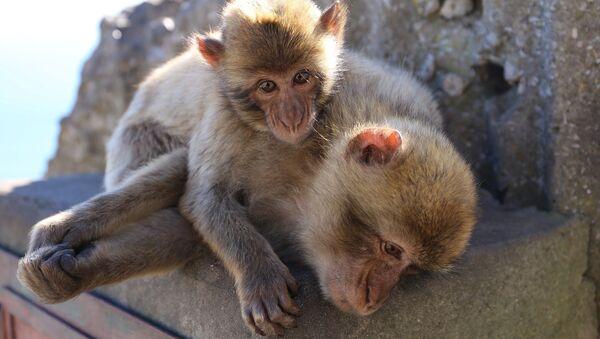 Macaques - Sputnik France