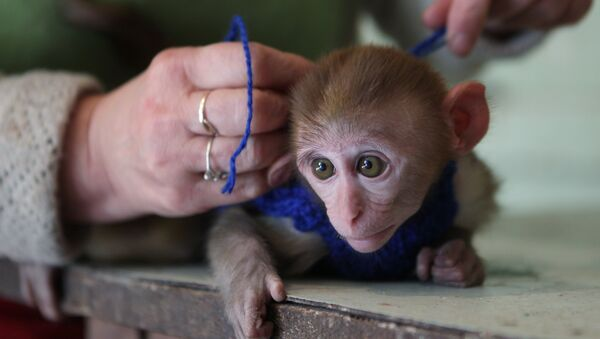 Un macaque rhésus - Sputnik France