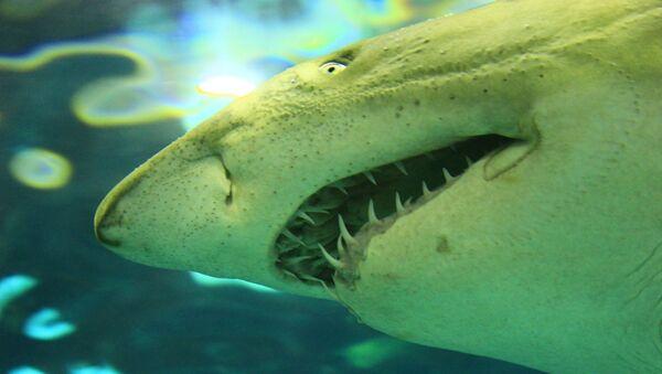 Un requin blanc - Sputnik France