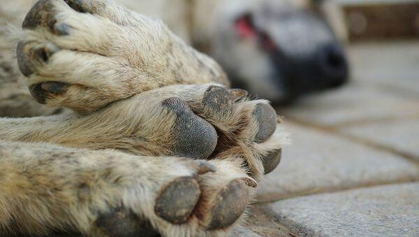 Patas de un perro - Sputnik France